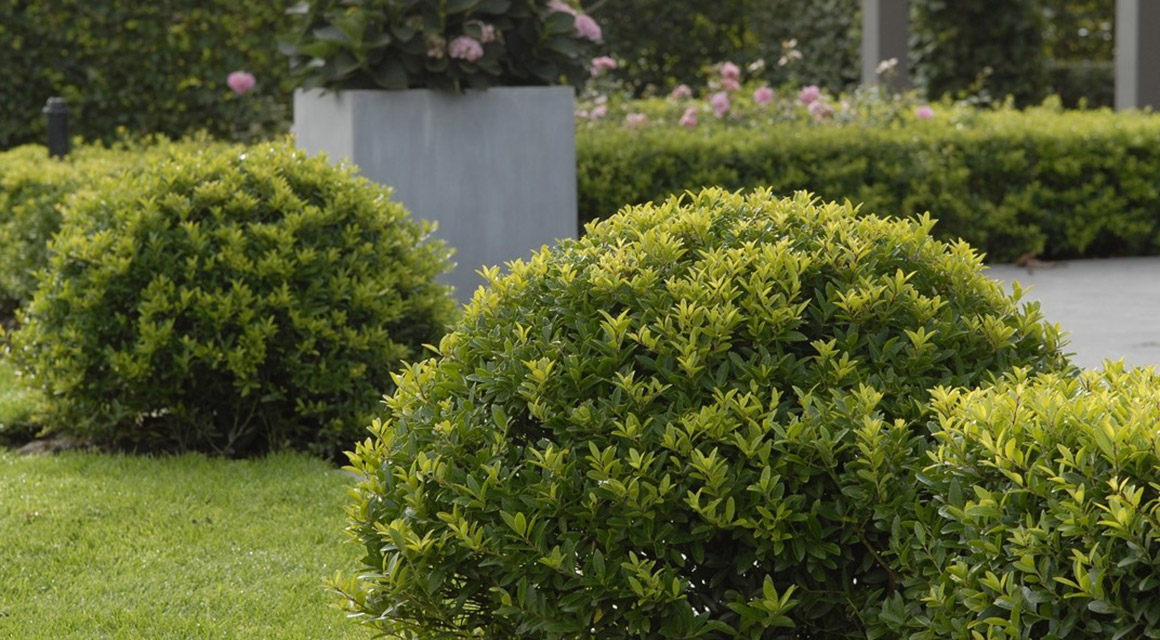 Japanische Stechpalme: die beliebteste Buchsbaum-Alternative