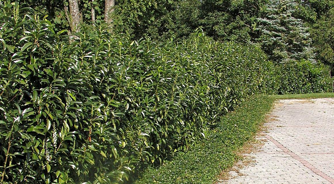 Kirschlorbeer 'Genolia'® im Garten