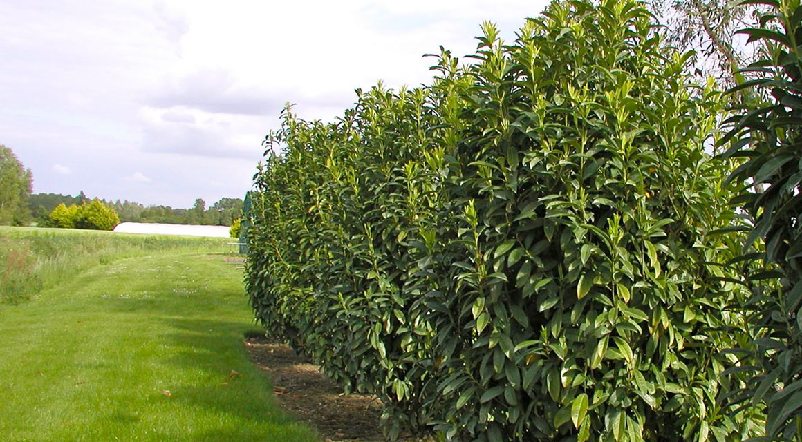 Kirschlorbeer 'Genolia'® wächst nicht in die Breite