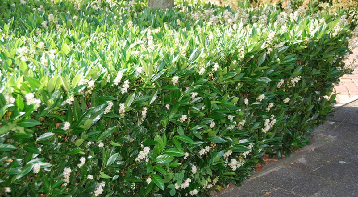 Kirschlorbeer: eine schnellwachsende Heckenpflanze