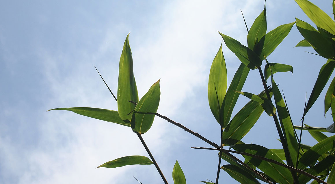 Die passende Bambus-Pflanze auswählen