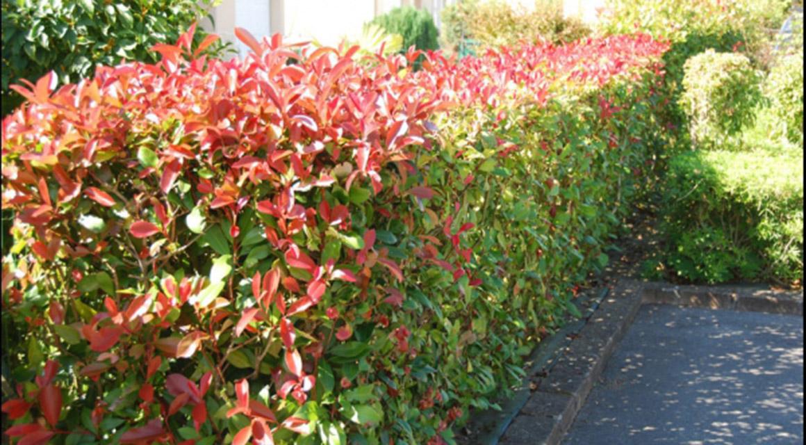 Pflanzen Sie immergrüne Sträucher!