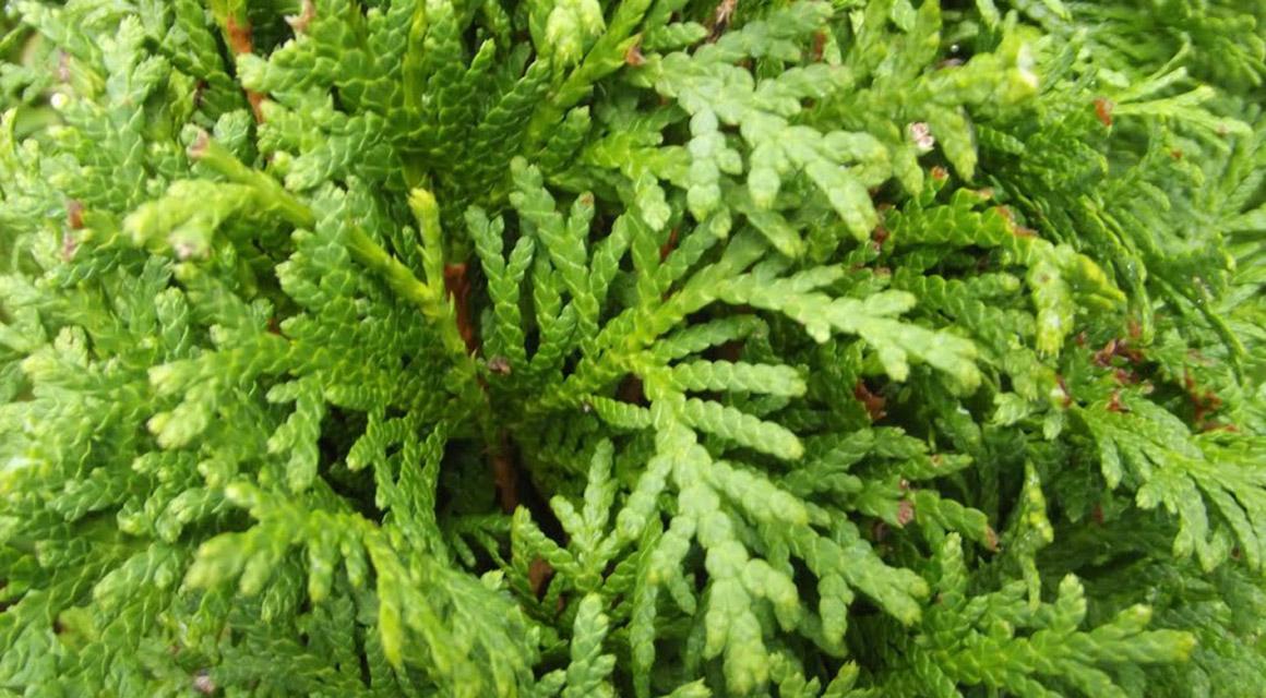 Das Pflanzen und Pflegen von einem Lebensbaum