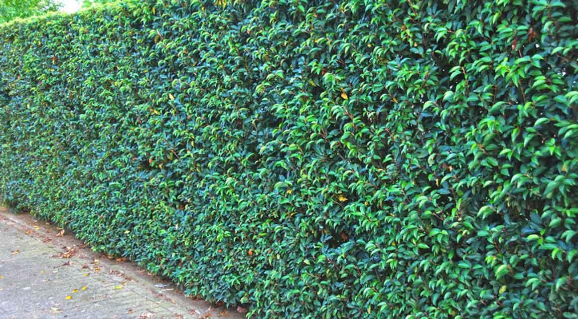 Der Portugiesische Kirschlorbeer ist immergrün