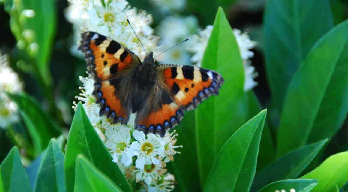 Der Portugiesische Kirschlorbeer: unwiderstehlich für Vögel und Schmetterlinge