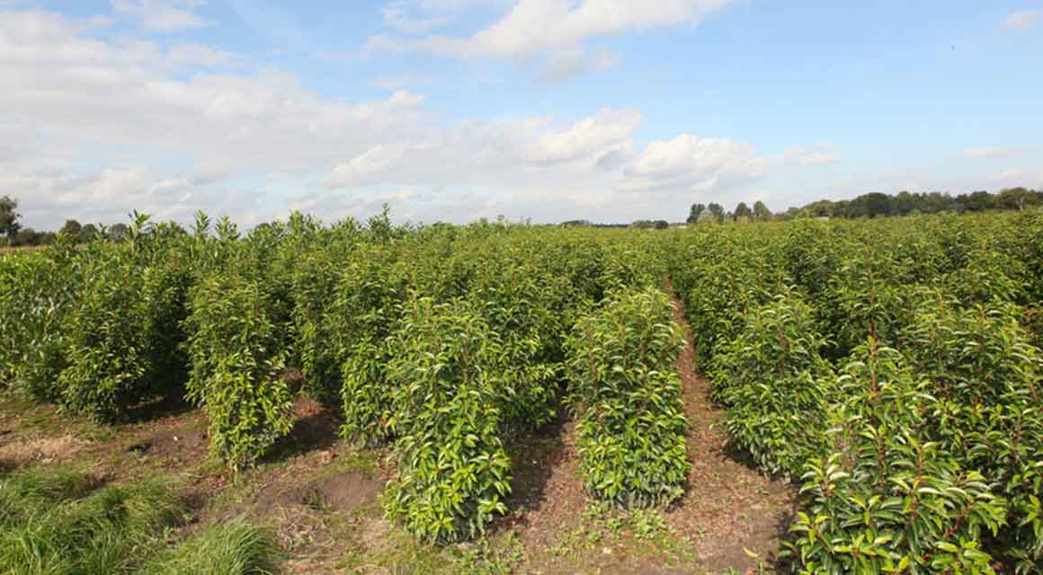 Den Portugiesischen Kirschlorbeer online kaufen