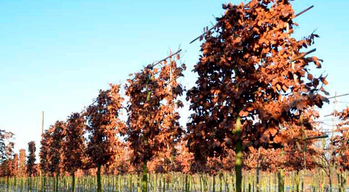Rotbuche als Spalierbaum pflanzen