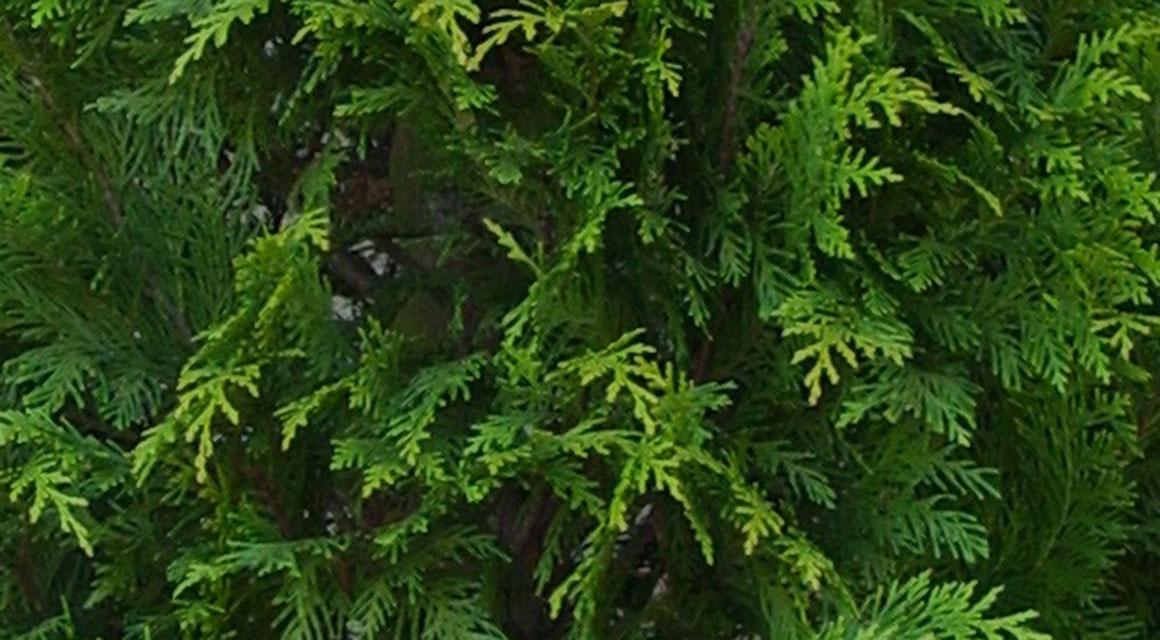 Über Scheinzypressen und Leyland-Zypressen