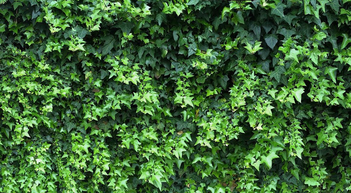Schnell ein schöner Schutz aus Blättern: der Efeu