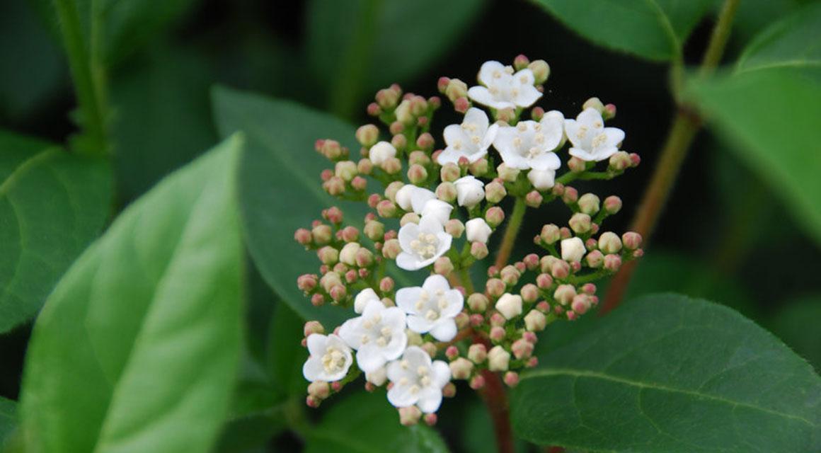 Lorbeerschneeball (Viburnum tinus)