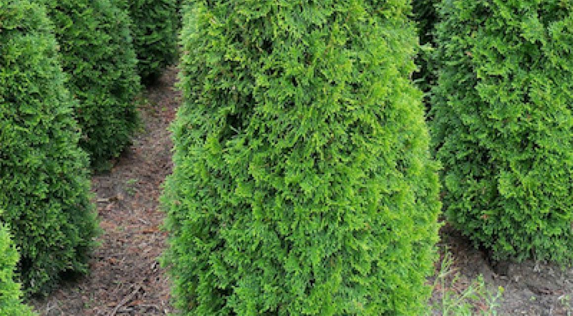 Thuja in Ihrem Garten pflanzen: So geht's