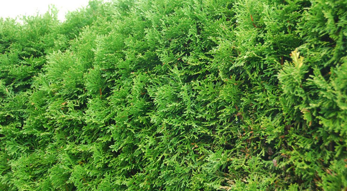 Thuja 'Smaragd' als Heckenpflanze in Ihrem Garten