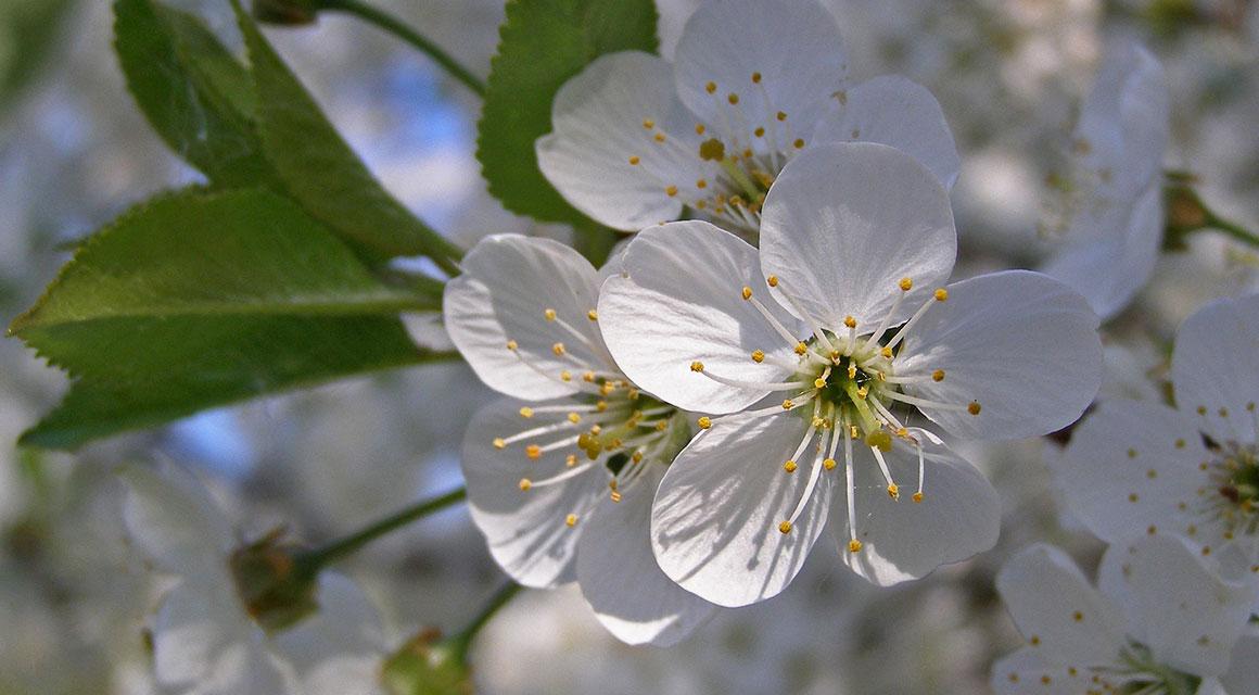 Tipps für eine Hecke mit einer langen Blütezeit