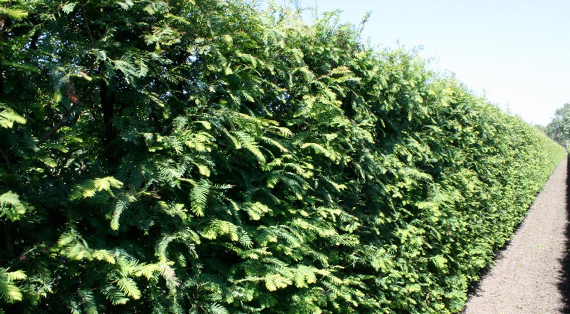Eine Urweltmammutbaum-Hecke