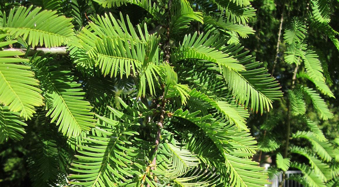 Der Urweltmammutbaum