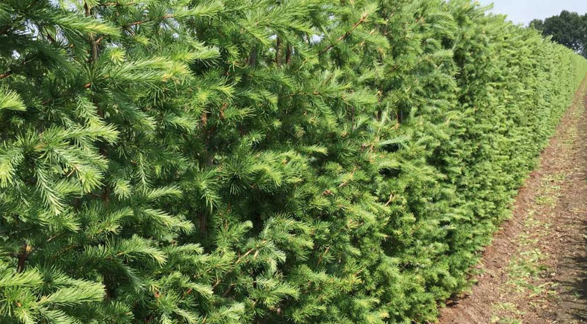 Verjüngungsschnitte sind nicht bei allen Heckenpflanzen möglich