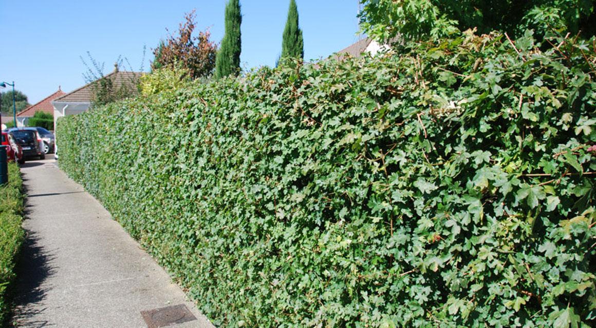 Vermeiden Sie Heckenpflanzen mit Dornen