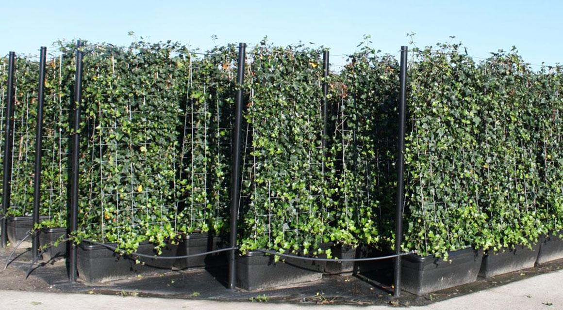 Welche Pflanzen sind als Fertig-Hecken erhältlich?