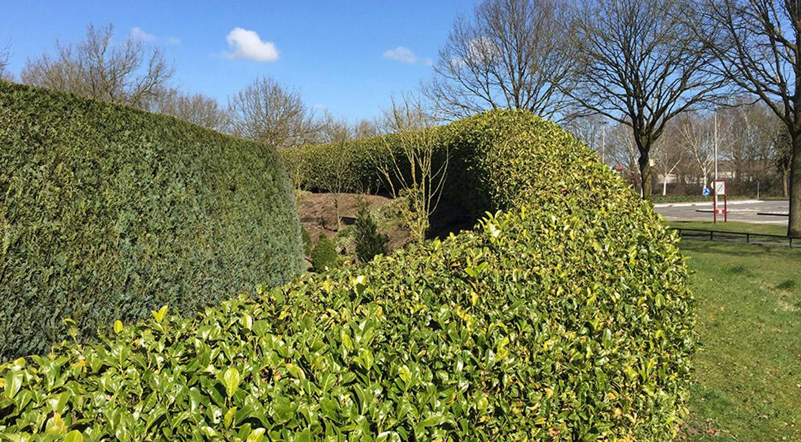 Wintergrüne Kirschlorbeerhecke