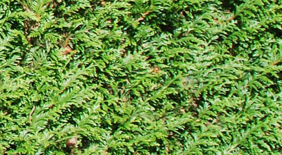Winterhart Thuja plicata 'Atrovirens'
