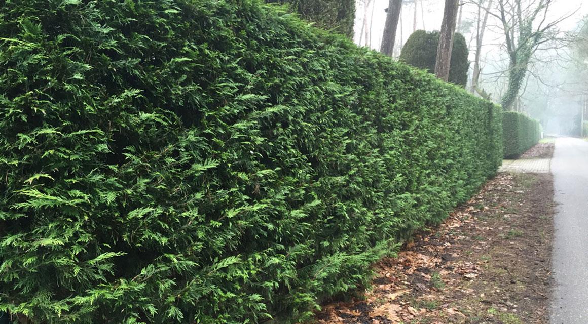 Noch mehr geeignete Zypressen für Hecken