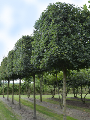 Spalierbaume und Formbaume