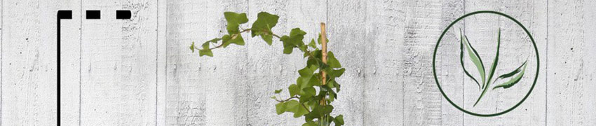 Efeu Kaufen bei Heckenpflanzendirekt.de