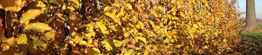 Der Eisenholzbaum: was Sie über den Standort und die Pflege wissen sollten