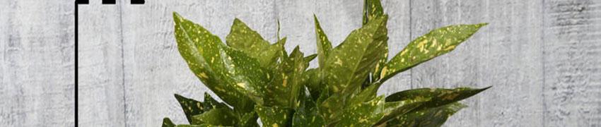 Aucuba japonica Crotonifolia pflanzen
