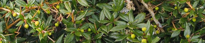 Berberitze 'Amstelveen' als Heckenpflanze