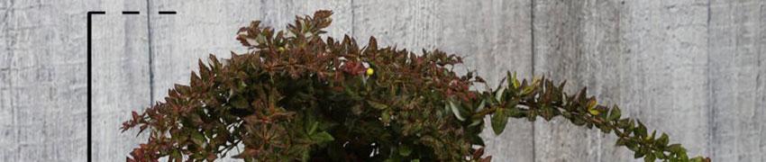 Berberitze verruculosa im Garten