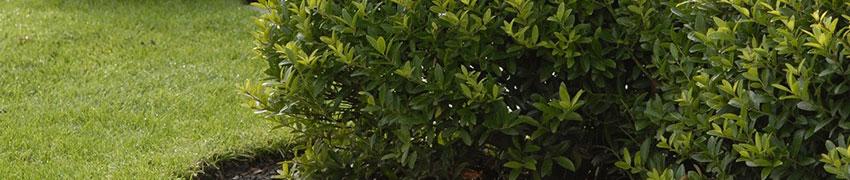 Buchsbaum-Alternative Ilex crenata 'Blondie' online kaufen