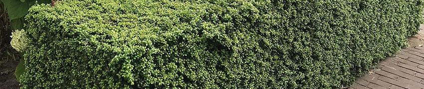 Buchsbaum-Alternative Ilex crenata 'Convexa' online kaufen