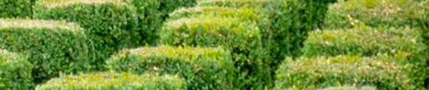 Buchsbaum als Fertig-Hecke