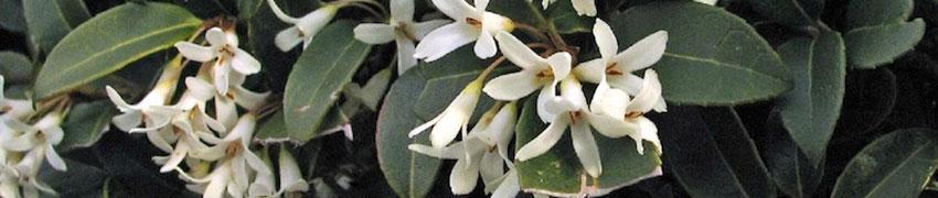 Duftblüte als Heckenpflanze