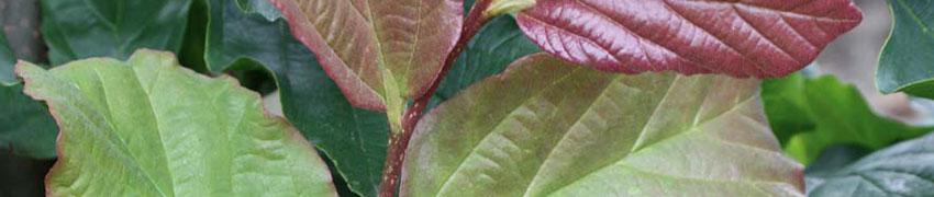 Den Eisenholzbaum online kaufen: zeitsparend und schnell