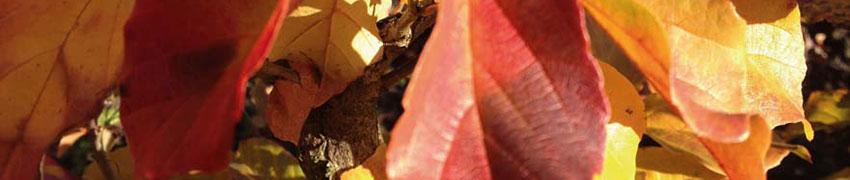 Ist der Eisenholzbaum immer winterhart und frostfest?