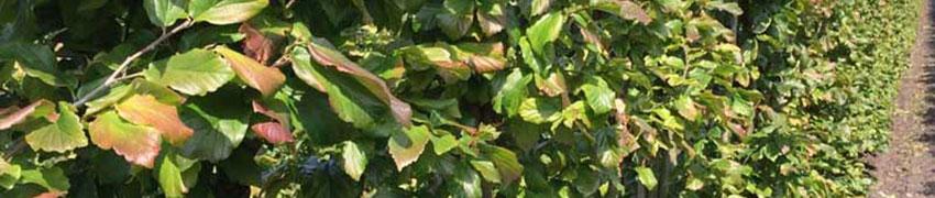 Der Eisenholzbaum: farbenfroh, insektenfreundlich und knallhart