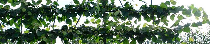 Frisch formierte Spalierbäume mit Etagen