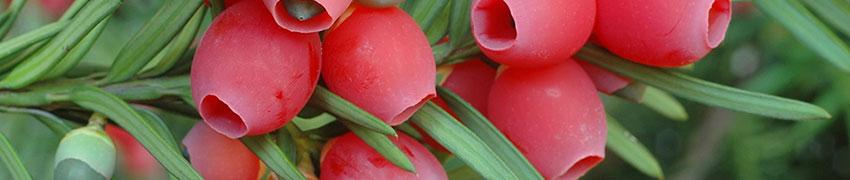 Fruchtende Becher-Eibe online bestellen