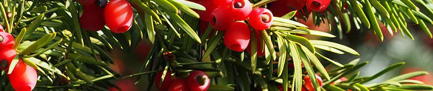 Fruchtende Becher-Eiben