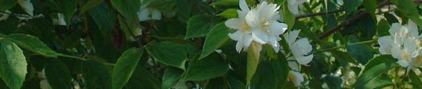 Gefüllter Gartenjasmin online bestellen