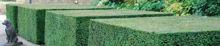 Gemeine Eibe im Garten