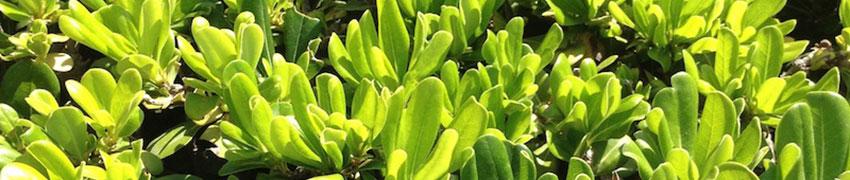 Griselinia als Heckenpflanze