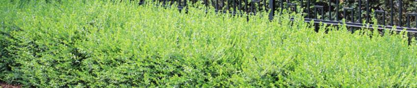 Heckenmyrte im Garten pflanzen