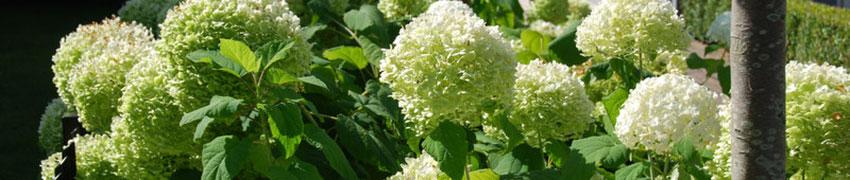 Hortensie als Heckenpflanze