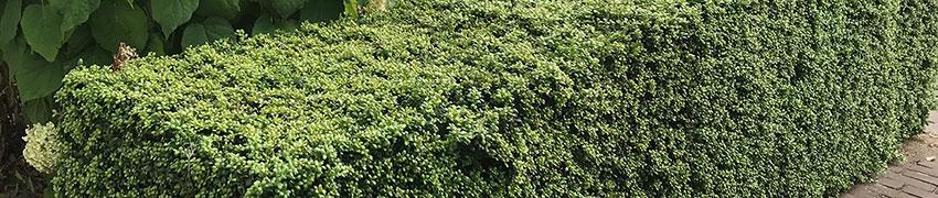 Ilex crenata als Buchsbaum-Ersatz