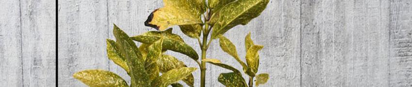 Japanische Aukube 'Variegata' pflanzen