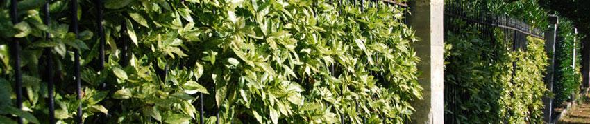 Aucuba japonica variegata als Heckenpflanze