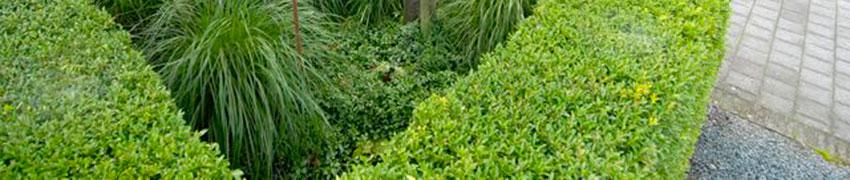 Japanische Stechpalme 'Blondie': ein Gewinn für Ihren Garten
